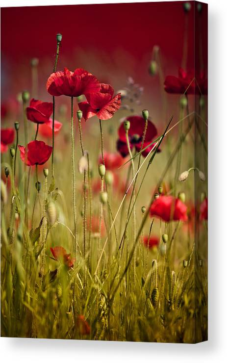 Poppy Canvas Print featuring the photograph Summer Poppy by Nailia Schwarz