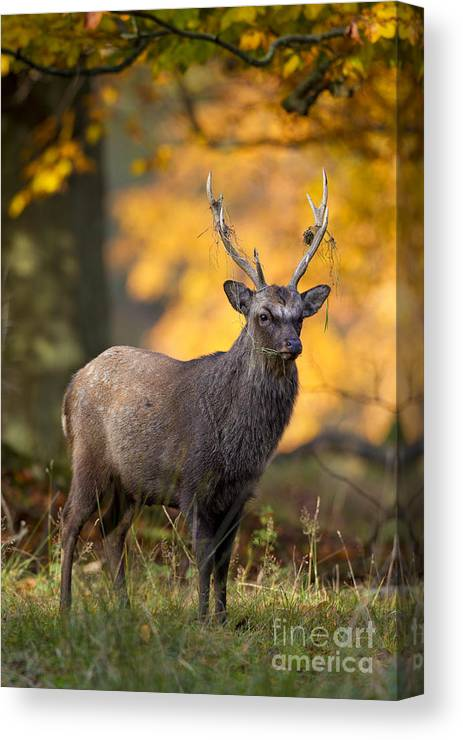 Sika Deer Canvas Print featuring the photograph 110307p073 by Arterra Picture Library