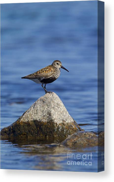 Calidris Alpina Canvas Print featuring the photograph 121213p019 by Arterra Picture Library