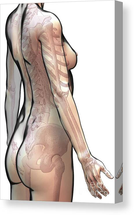 Digitally Generated Image Canvas Print featuring the photograph Bones Of The Upper Body Female by Science Picture Co
