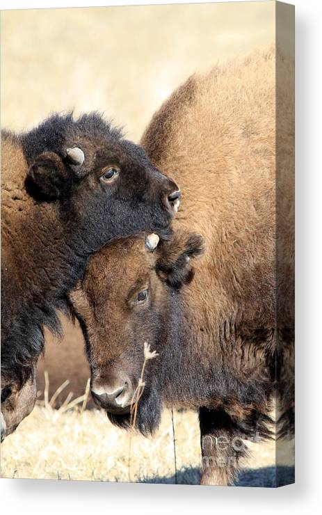 Buffalo Canvas Print featuring the photograph Lean On Me by Rick Rauzi