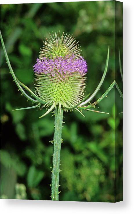 Dipsacus Fullonum Canvas Print featuring the photograph Teasel (dipsacus Fullonum) by Bruno Petriglia/science Photo Library