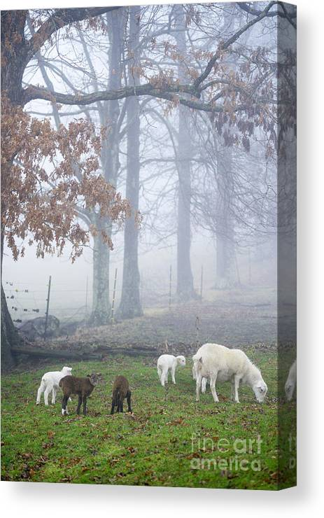 Lamb Canvas Print featuring the photograph Winter Lambs Foggy Day by Thomas R Fletcher