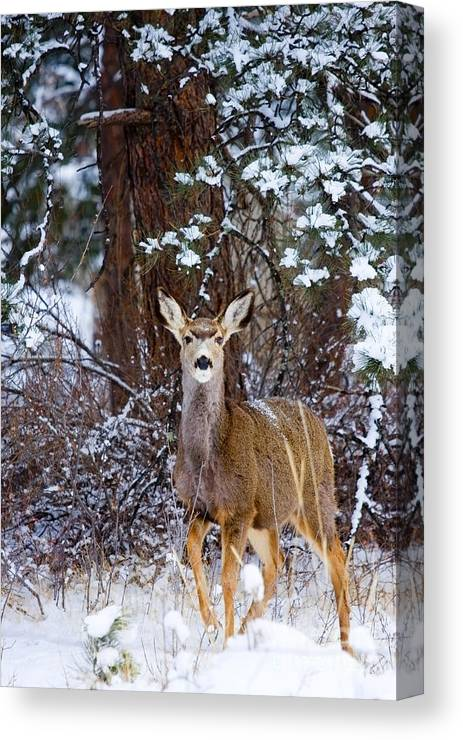 Beautiful Canvas Print featuring the photograph Mule Deer In Snow by Steve Krull