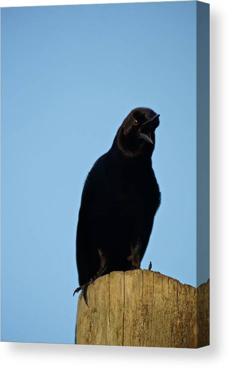Bird Canvas Print featuring the photograph Angry Raven by Mike Julian