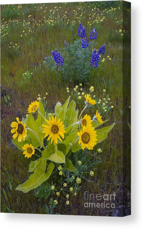 Nature Canvas Print featuring the photograph Arrowleaf Balsamroot And Lupine by John Shaw
