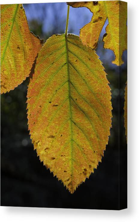 Orange Canvas Print featuring the photograph Autumn Leaf by David Freuthal