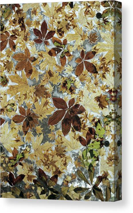 Leave Canvas Print featuring the photograph Autumnal Leaves by Chris Dawe/science Photo Library