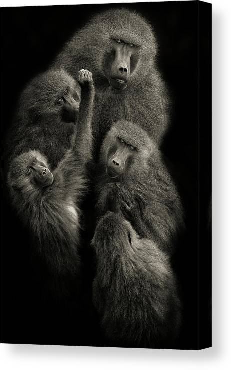 Baboon Canvas Print featuring the photograph Baboons  United  by Mario Moreno