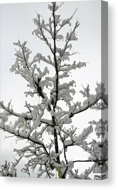 Bare Branches Canvas Print featuring the photograph Bare Branches With Snow by Tikvah's Hope