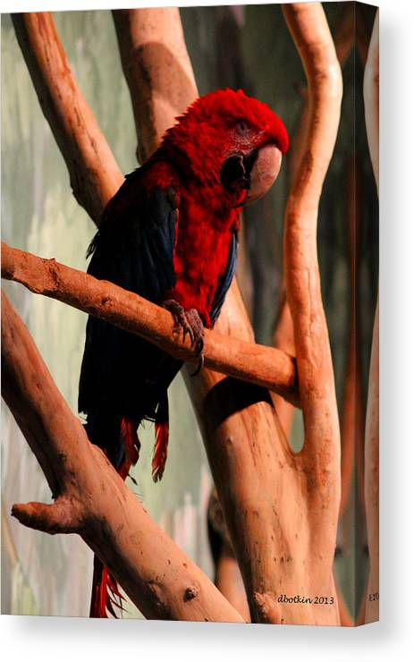 Zoo Canvas Print featuring the photograph Big Red by Dick Botkin