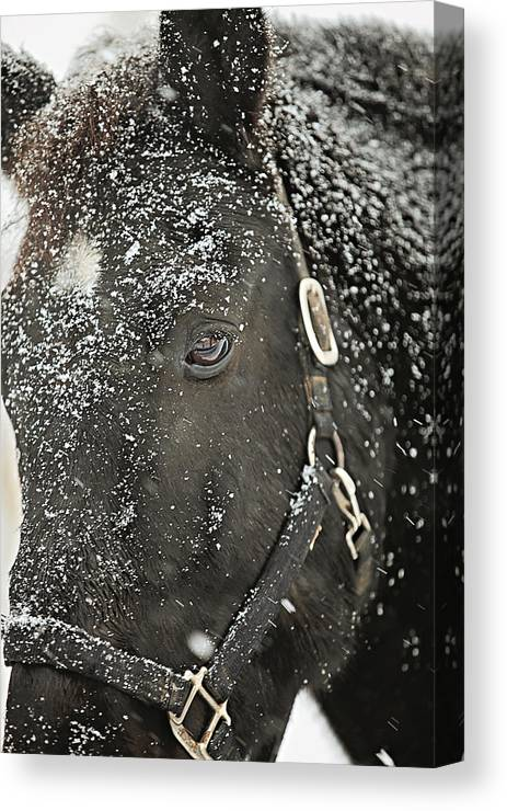 Snow Canvas Print featuring the photograph Black Beauty In A Blizzard by Carrie Ann Grippo-Pike