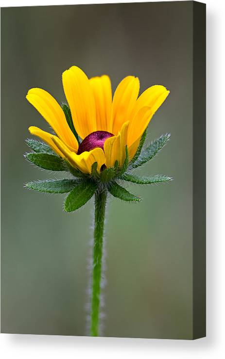 Brickyard Canvas Print featuring the photograph Black-eyed Susan by Stephen Gingold