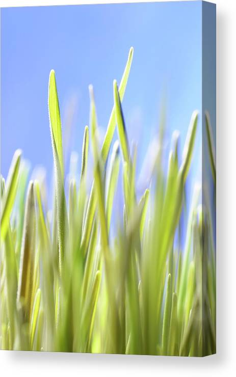 Agricultural Canvas Print featuring the photograph Blades Of Wheatgrass by Cordelia Molloy