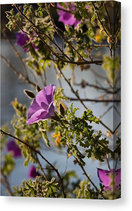 Sonoran Desert Canvas Print featuring the photograph Blooming Above The Lake by Aaron Burrows