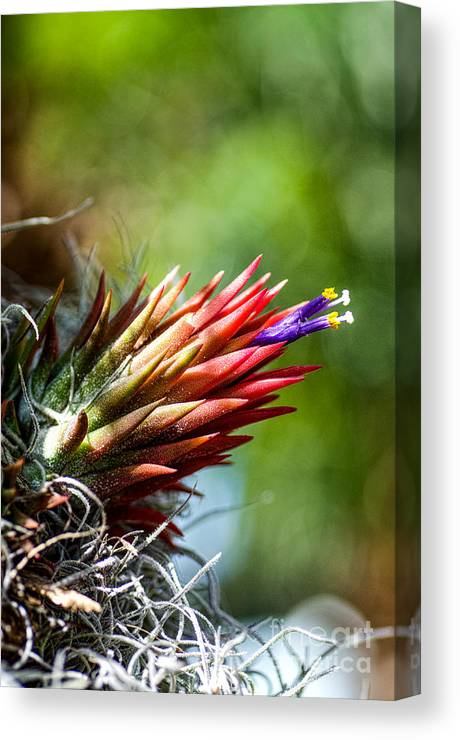Bromeliad Canvas Print featuring the photograph Bromeliad Strica by Keith Ducker
