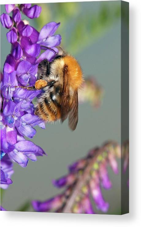 Bird Vetch Canvas Print featuring the photograph Bumblebee On Vetch (vicia Cracca) Flowers by Dr. John Brackenbury/science Photo Library
