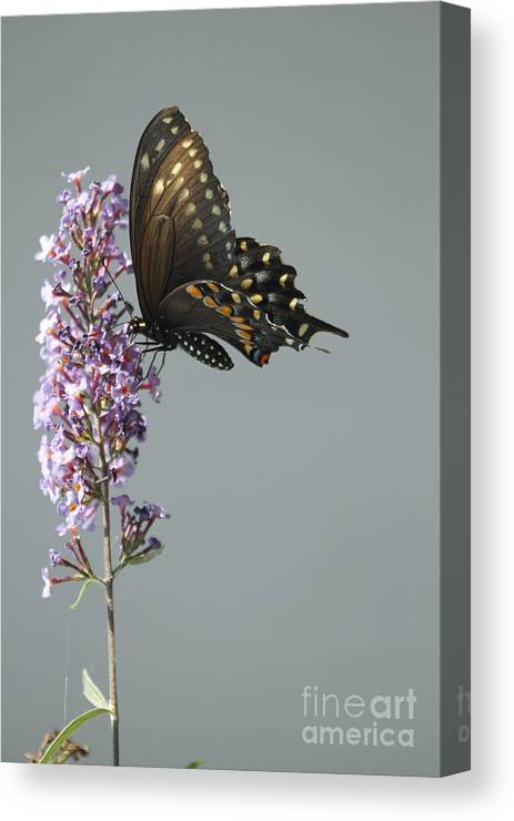 Black Swallowtail Butterfly Canvas Print featuring the photograph Butterfly Feeding by John Van Decker