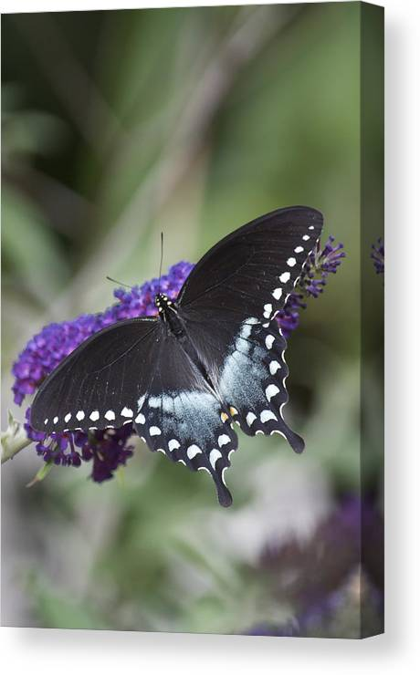 Butterfly Canvas Print featuring the pyrography Butterfly Feeding by Mike Hinton