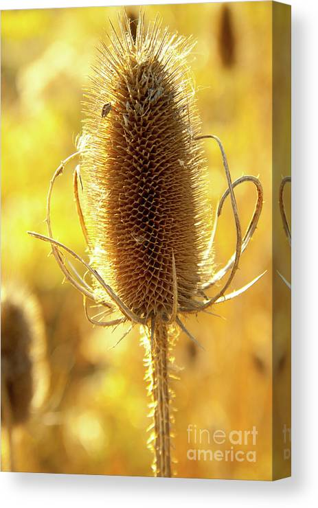 Nature Canvas Print featuring the photograph Cat Tails by Margaret Sarah Pardy
