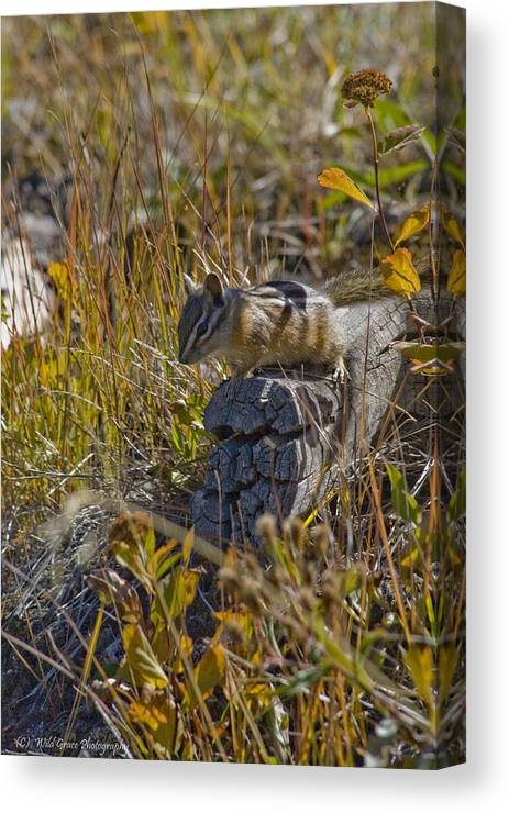 Chipmunk Canvas Print featuring the photograph Chipmunk In Yellowstone by Crystal Heitzman Renskers