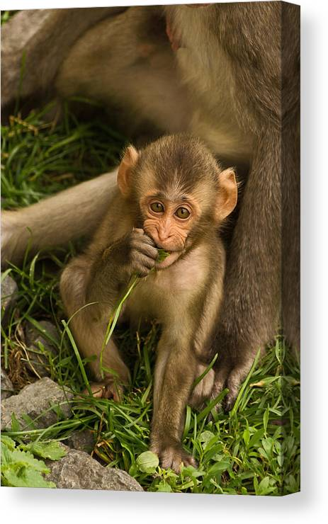 Snow Monkey Canvas Print featuring the photograph Close To Mom by Theo OConnor