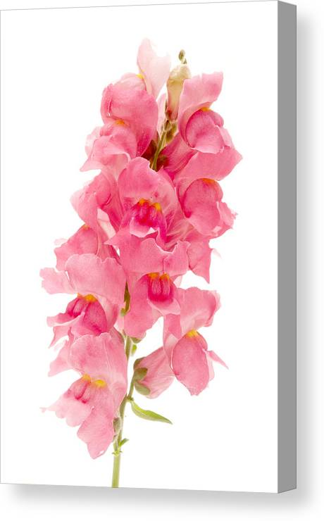 White Background Canvas Print featuring the photograph Common Snapdragon by Fabrizio Troiani
