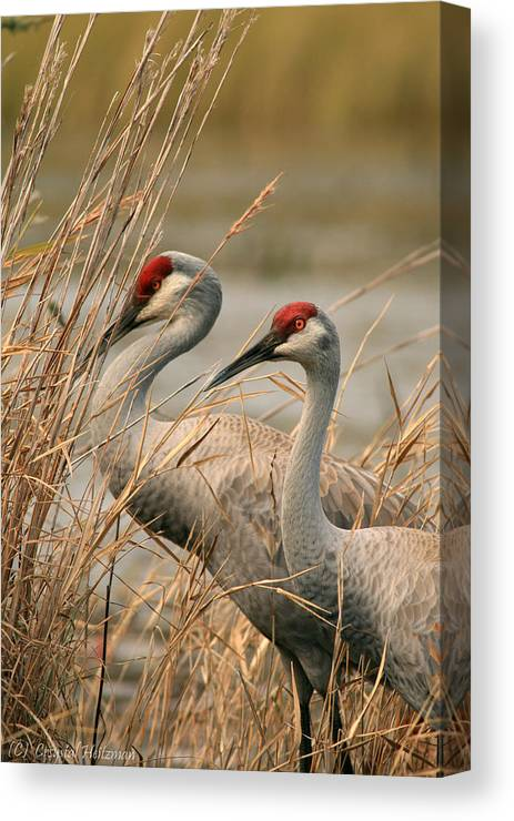 Sandhill Cranes Canvas Print featuring the photograph Content Pair by Crystal Heitzman Renskers