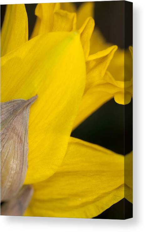 Daffodil Canvas Print featuring the photograph Daffodil Flower by Bernard Lynch