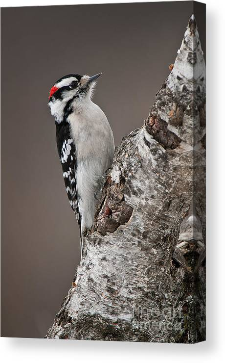 Downy Woodpecker Canvas Print featuring the photograph Downy Woodpecker Pictures 11 by World Wildlife Photography