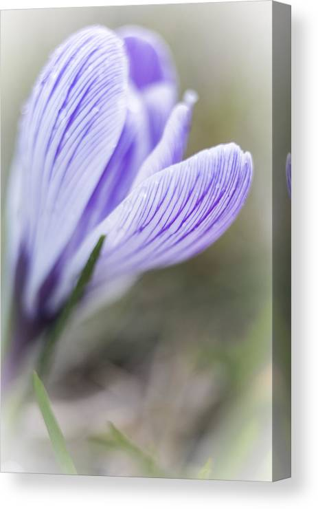 Crocus Canvas Print featuring the photograph Dreaming Of Spring by Caitlyn Grasso