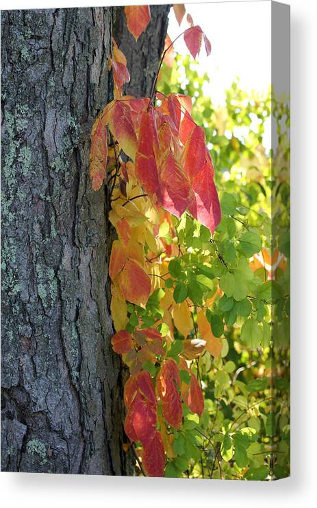 Fall Canvas Print featuring the photograph Fall In The Orchard by Mary Bedy