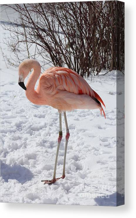 Flamingo Canvas Print featuring the photograph Flamingo by Michael Paskvan