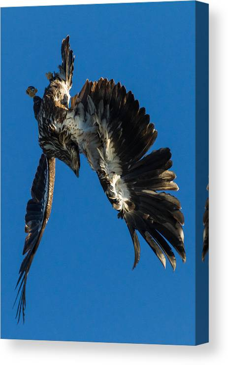 Bald Eagle Canvas Print featuring the photograph Flight Acclimation by Nathan Harker