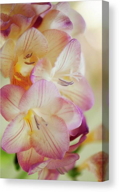 Freesia Canvas Print featuring the photograph Freesia Sp by Maria Mosolova/science Photo Library