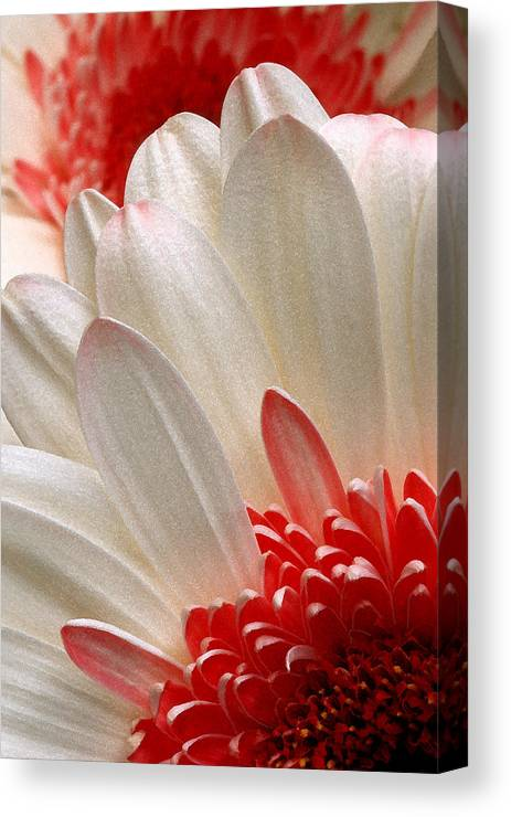 Gerbera Canvas Print featuring the photograph Gerbera Daisy Iv by Michael Moschogianis