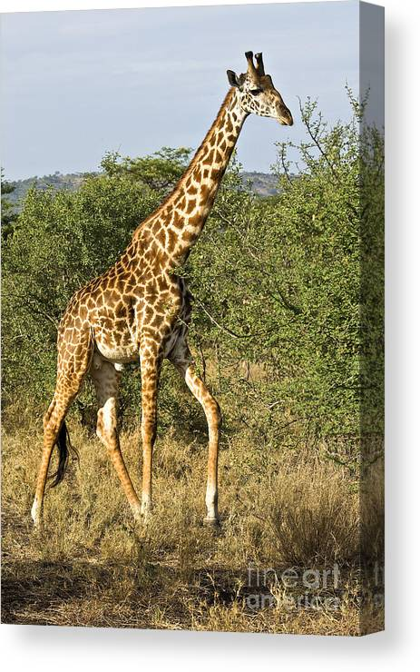 Africa Canvas Print featuring the photograph Giraffe From Tanzania by Timothy Hacker