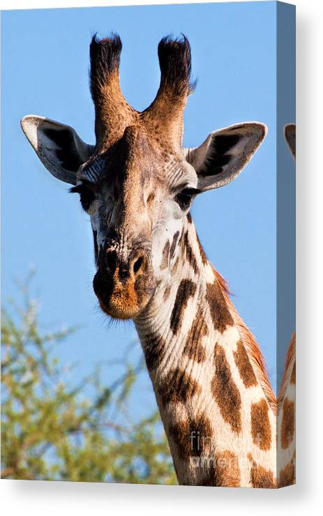 Giraffe Canvas Print featuring the photograph Giraffe Portrait Close-up. Safari In Serengeti. by Michal Bednarek