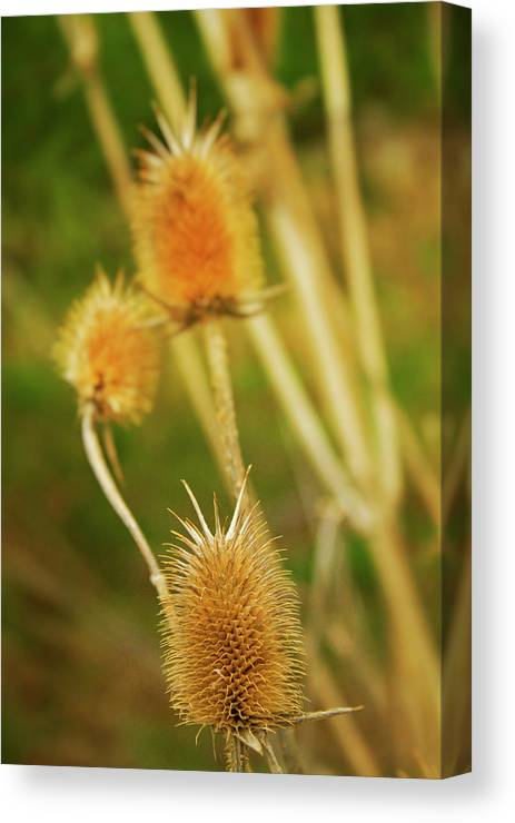 Landscapes Canvas Print featuring the photograph Golden by Julie Kiefer