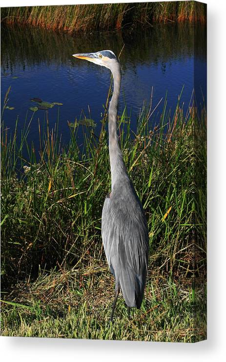 Heron Canvas Print featuring the photograph Great Blue Heron by Adriann Partrick