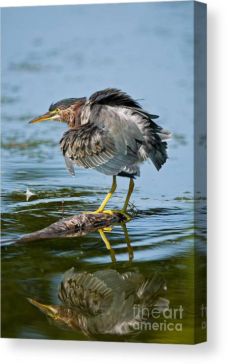 Green Heron Canvas Print featuring the photograph Green Heron Pictures 469 by World Wildlife Photography