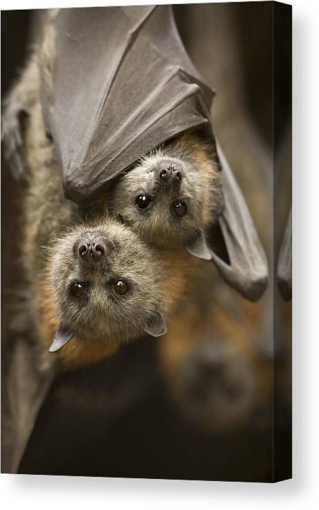 Bats Canvas Print featuring the photograph Hang In There by Mike Dawson