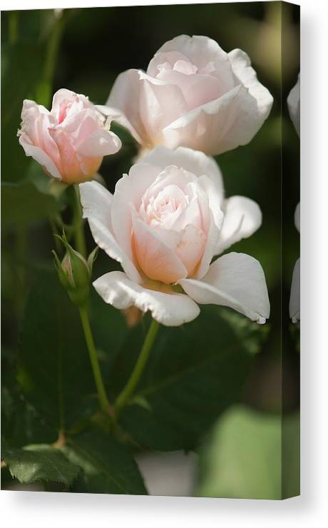 Angiosperm Canvas Print featuring the photograph Hybrid Rose (rosa 'tamora') by Maria Mosolova/science Photo Library