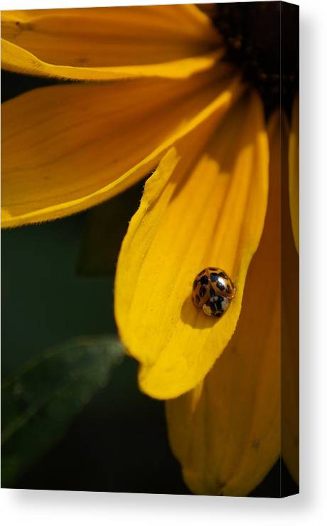 Ladybug Canvas Print featuring the photograph Lady Bug by Mike Julian