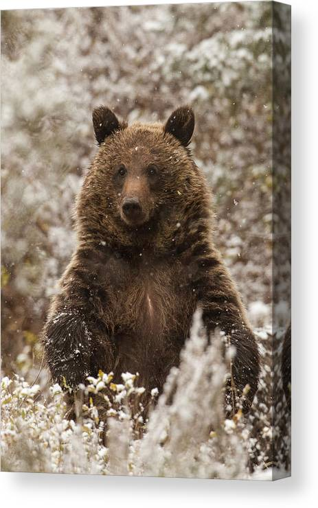Grizzly Bear Canvas Print featuring the photograph Let It Snow by Sandy Sisti