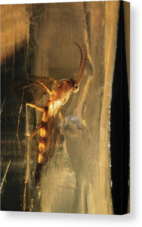 Fossil Canvas Print featuring the photograph Long-legged Fly In Amber by Lawrence Lawry