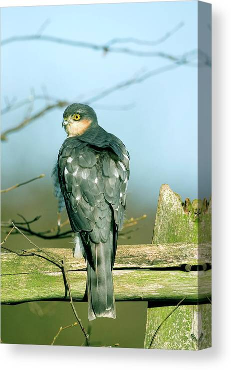 Accipiter Nisus Canvas Print featuring the photograph Male Sparrowhawk by John Devries/science Photo Library