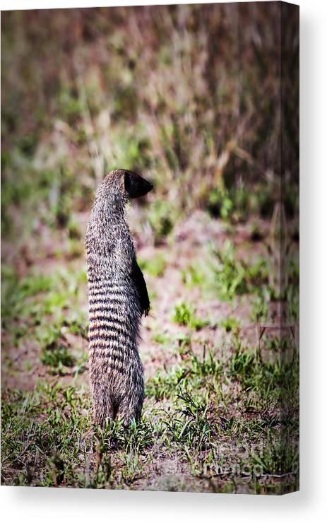 Mongoose Canvas Print featuring the photograph Mongoose Standing. Safari In Serengeti by Michal Bednarek