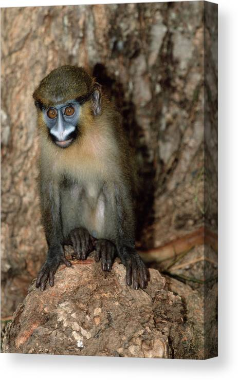 Cercopithecus Cephus Canvas Print featuring the photograph Moustached Guenon Orphan by Tony Camacho/science Photo Library