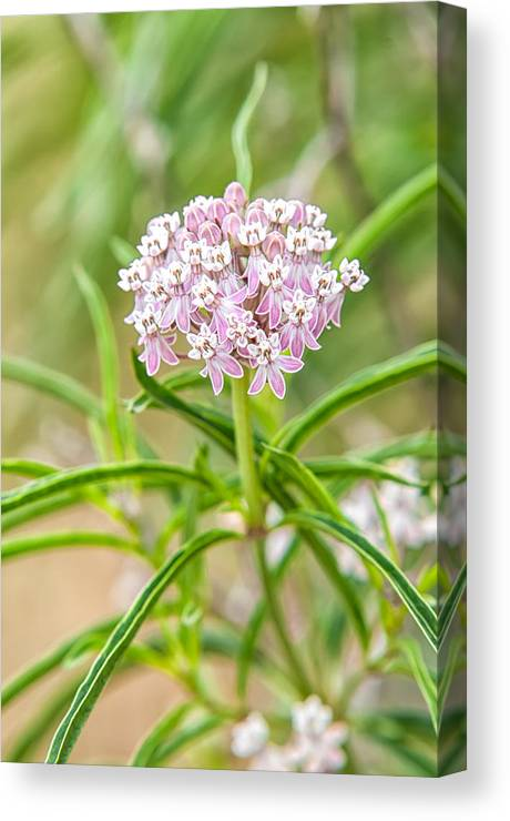 A. Fascicularis Canvas Print featuring the photograph Narrowleaf Milkweed by Rich Leighton